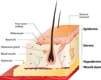 skin physiology